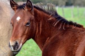 Pouliche Quarter Horse