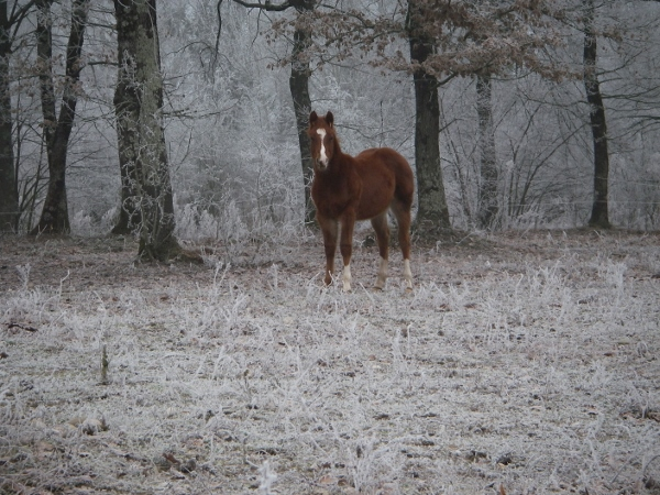 Monsieur okie boon Yearling Quarter Horse