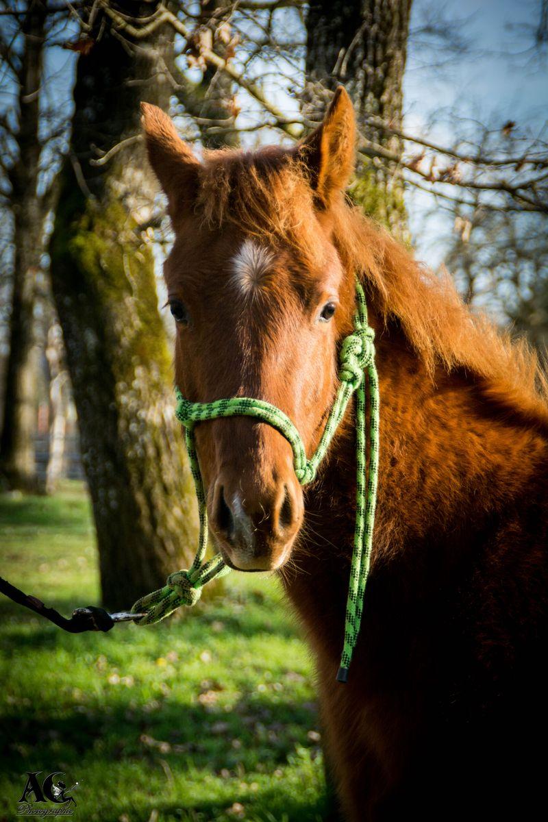 Gallo del Okie - Poulain Quarter Horse 2015 - HR Ranch
